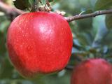 リンゴ幹細胞がすごい!美容業界にとって画期的発見!